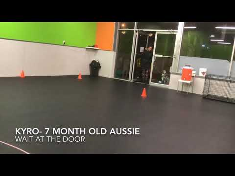 Kyro the Aussie | Mind Your Manners Level 1 Obedience Class Test