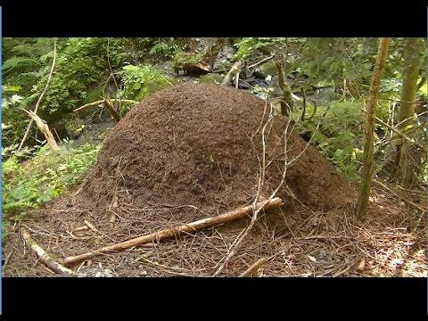 nid de fourmis g ant la fourmis rousse des bois youtube. Black Bedroom Furniture Sets. Home Design Ideas