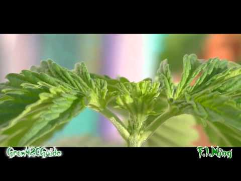 How to: F.I.M and Top your marijuana plant