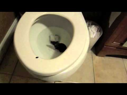 RAT IN THE TOILET - YouTube