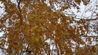 Золото листьев