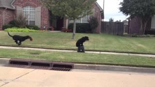 Tulsa Dog Training - Cherokee - 5 Month Newfoundland With Distractions