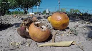 South Texas officials asking people to pick their fruit to avoid Mexican fruit fly epidemic