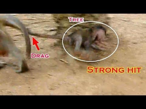 Terrible baby monkey Daniela strong hit with the tree, Daniela dizziness walk shaking