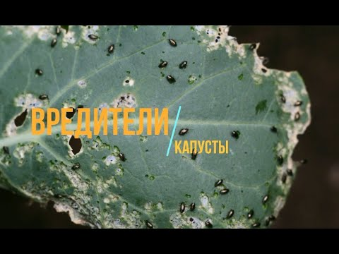 Как избавиться от вредителей капусты без химии