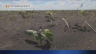 ВЕТЕР С ПОЛЯ ДУЛ: Тысячи гектаров рапса и подсолнечника уничтожено песчаной бурей