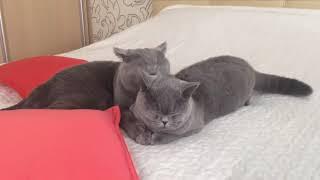 видео Британские кошки в семье