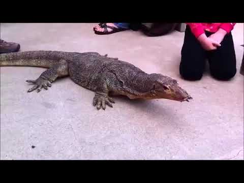 Funny video Water Monitor Large Lizard & Alligator