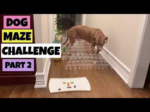 maze-for-dogs---part-two---is-the-older-pitbull-wiser??