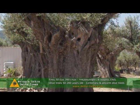 ΦΥΤΩΡΙΑ ΔΕΛΤΑ -DELTA TREES LTD / ΥΠΕΡ - ΑΙΩΝΟΒΙΕΣ ΕΛΙΕΣ - SPECIMEN OLIVE TREES