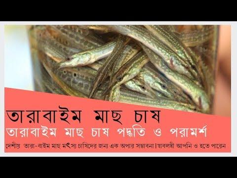 Tara Baim Fish Farming ।। তারা বাইম মাছ চাষ পদ্ধতি ।। খামার বাড়ি