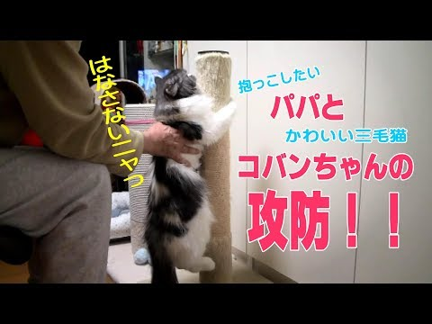 抱っこを拒否する猫とパパ Ragamuffin cat KOBAN do not wants to be hug