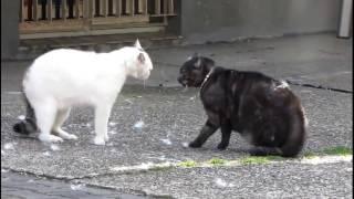 кошачий бой