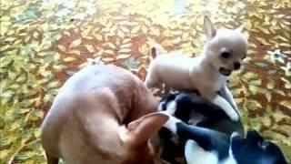 ПРОДАМ щенков чихуахуа. мальчиков и девочек.