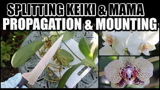 Phalaenopsis Keiki Propagation Using Aloe Vera & Mounting Orchids in Tree