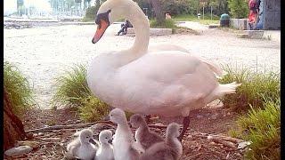 Люди и лебеди (Швейцария, Лозанна, Женевское озеро)(На Женевском озере закончился период высиживания лебедями своих яиц. Время высиживания - примерно полтора..., 2016-05-25T07:48:06.000Z)