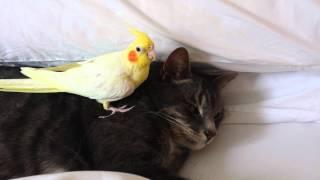 仲良しインコに愛される猫、お休み中は手出しご無用