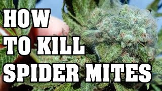 How to kill Spider Mites, Everything you need to know Part 1 of 2