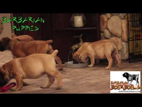Barbarian Boerboel Puppies