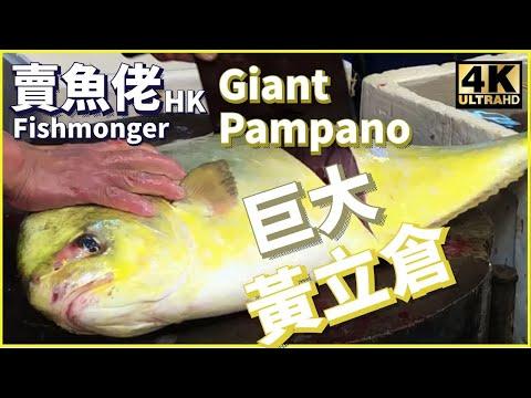 【西環魚王 4K】超巨大金黃色 海黃立倉 黃金倉 Cutting Wild Giant Pampano at Hong Kong Wet Market 【巨大きな魚】 まながつおまな鰹 漁民海鮮