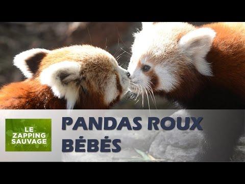Petits pandas roux (très mignons) - ZAPPING SAUVAGE 4