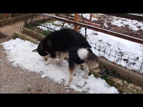Alaskan Malamute plays outside and digs the snow