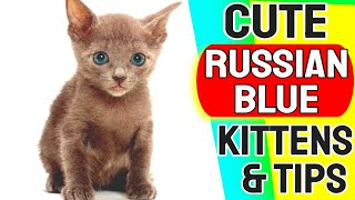 Cute Russian Blue Cat | Funny Russian Blue Kittens
