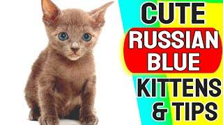 Cute Russian Blue Cat | Funny Russian Blue Kittens