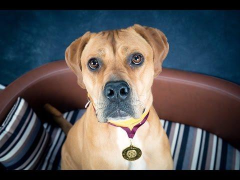 Reba - Mastiff Mix - 4 Weeks Residential Dog Training