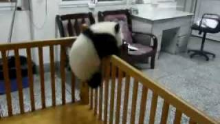 Repeat youtube video Escaping Baby Pandas