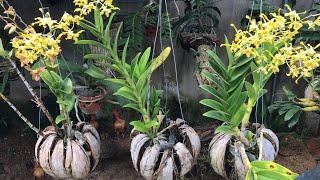 Como Plantar Orquídeas em Cascas de Coco