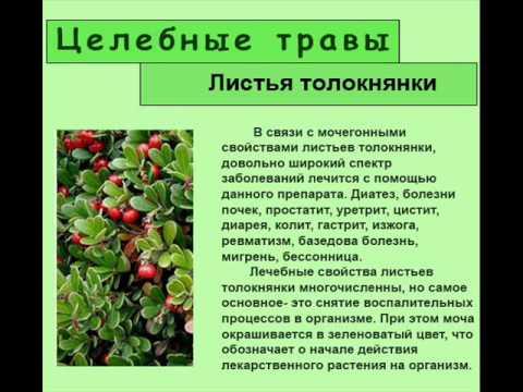 Толокнянки листья - инструкция по применению, отзывы
