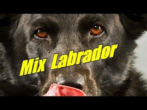 Mix Labrador dogs.