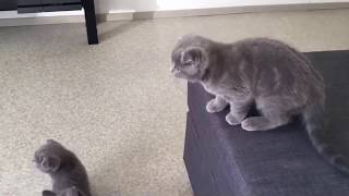 Шотландские вислоухие котята скоттиш фолд играют - смешные коты и кошки 2019 - приколы с котами