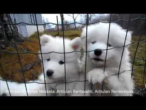 Arttulan Samoyed Puppies 2R - 7 weeks