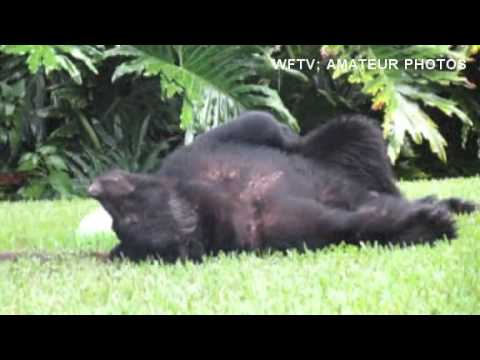 Watch Bear Doze Off After Eating Too Much Dog Food