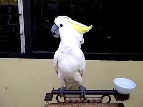 Jual Burung Kakatua Lesser Youtube