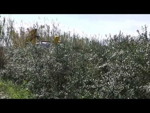 Podadora De Olivos En Seto thumbnail