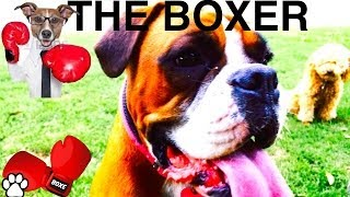 Boxer Breed - Facts About Boxers - A Tutorial By Cooking For Dogs
