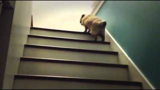 Pug Climbing Stairs - Funny Videos
