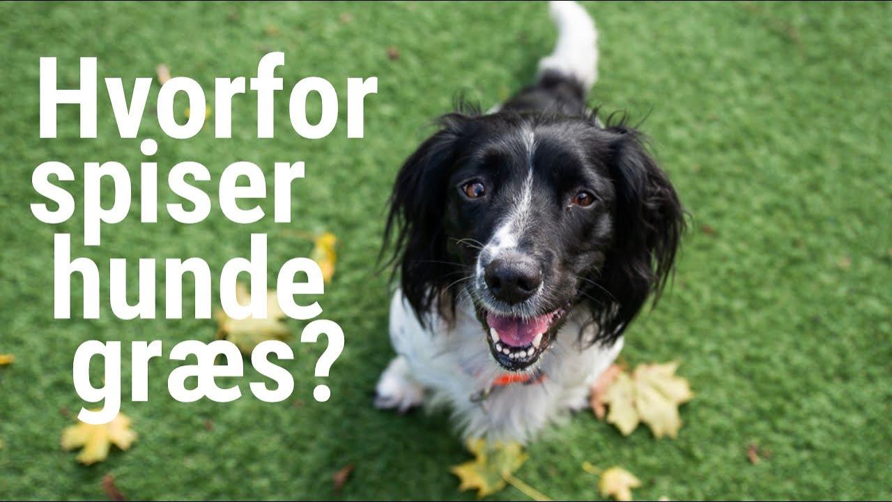 hvorfor spiser hunde græs