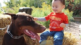 Fall Outdoor Nature Walk With Red Doberman Pinscher And Toddler, Kids Video Puppy Dogs  Cute Funny