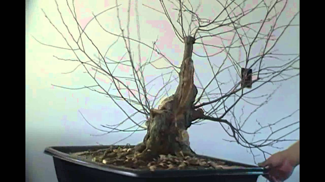 Bonsai Styling Japanese Hornbeam Pt 1 Youtube