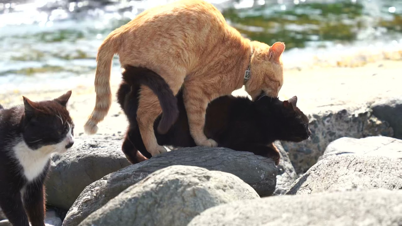 野良猫の交尾(高画質)