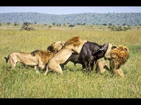 BBC News Animal World 2015 , Wild Lions Struggling to Survive Documentary HD