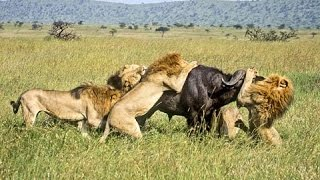 BBC News Animal World 2015 , Wild Lions Struggling to Survive Documentary HD