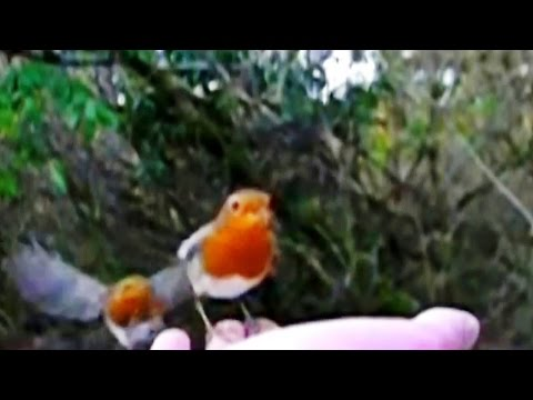 Robin Bird Attack - When Robins Attack Each Other - Birds In Slow Motion