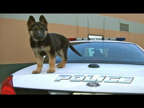 Funniest & Cutest German Shepherd Puppies #14 - Funny Dogs Compilation 2018