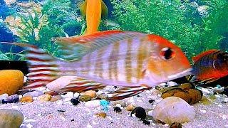 Футаж Аквариумные Рыбки. Геофагус Оранжевоголовый. Аквариумные Рыбки Видео. Футажи для видеомонтажа