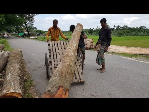 Best Wood for Best Client।Cutting Long Size Thin Mahogany Wood at New Sawmill।Logging Sawmill World